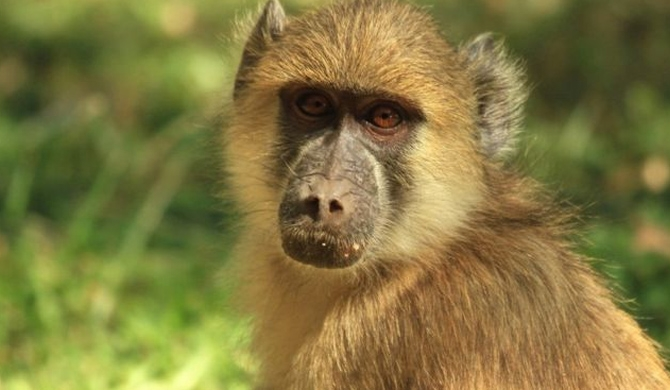 Baboon causes mass power cut in Zambia