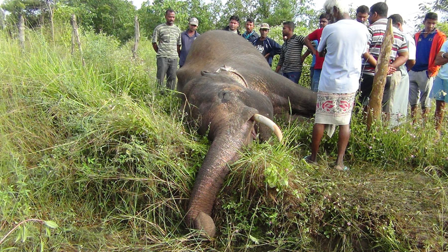 Killed elephant 1