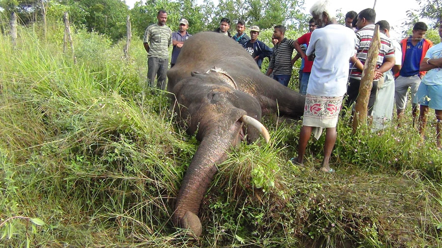 Killed elephant 9