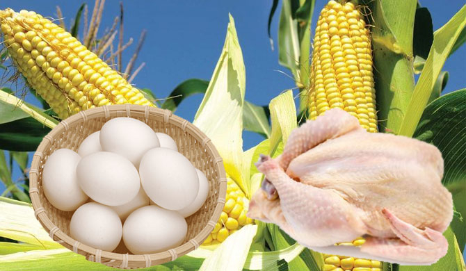 Eggs & chicken affected by maize import ban
