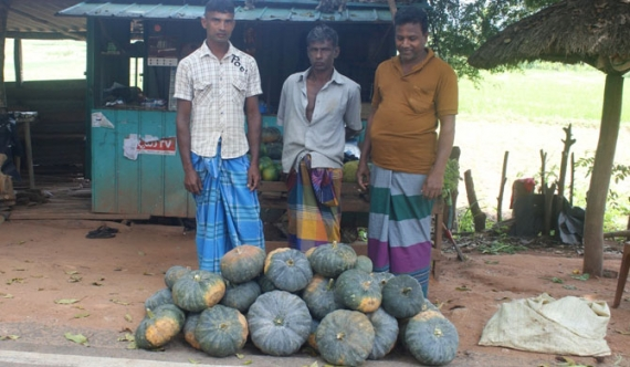 Pumpkin farmers lament over price woes (Pics)