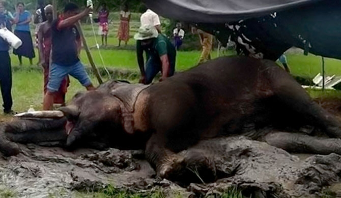 Anamaduwa Pachyderm shot in the head!