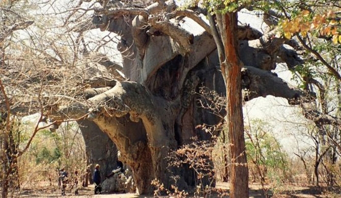 Scientists baffled over baobab tree deaths