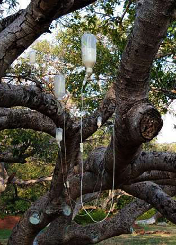 Dying Banyan tree given 'saline drip' (Video / Pics)