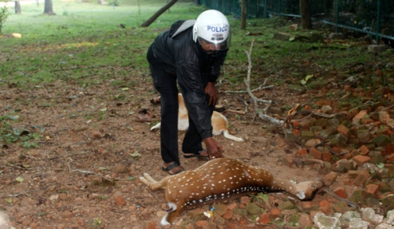 Deer population dwindling in P'naruwa sacred area