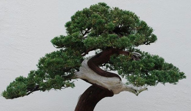 400-yr old Bonsai stolen