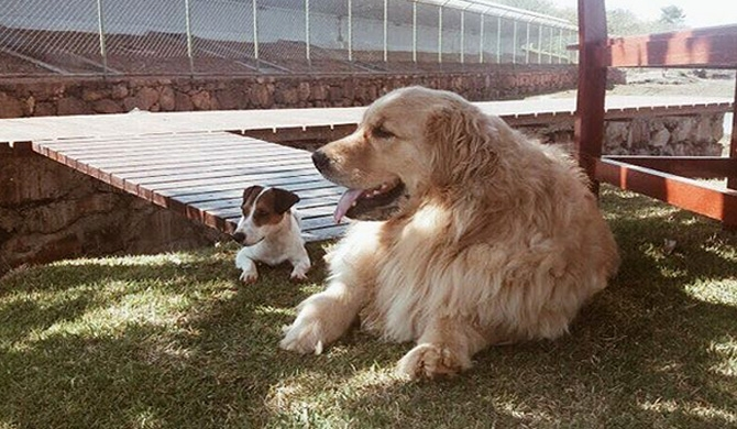 Brazil's first family has two dogs : Picoly and Thor, a golden retriever.