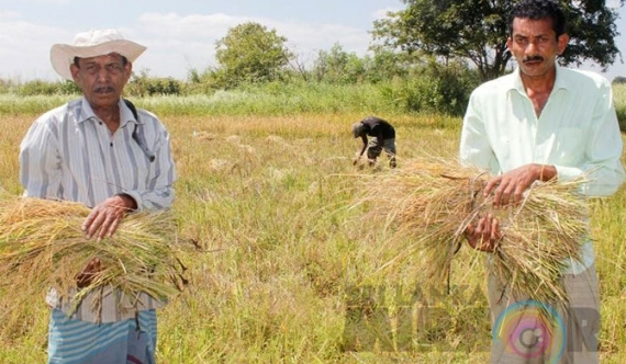 Paddy prices on the decline; profits for mill owners