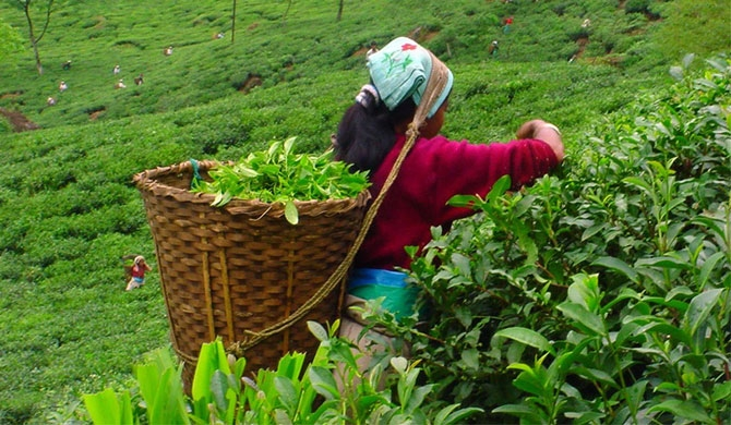5 yr. plan to develop tea industry