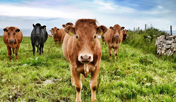 20 imported milch cows go missing!