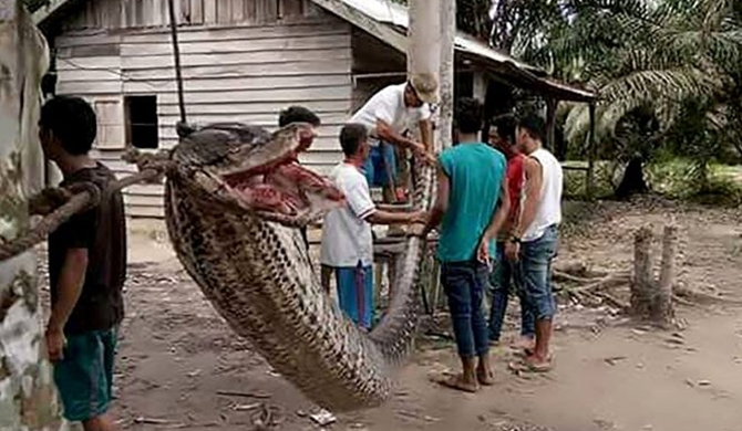 Villagers eat defeated giant python