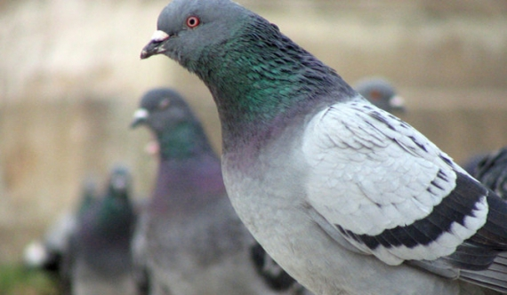 Pigeons used to distribute heroin in southern province