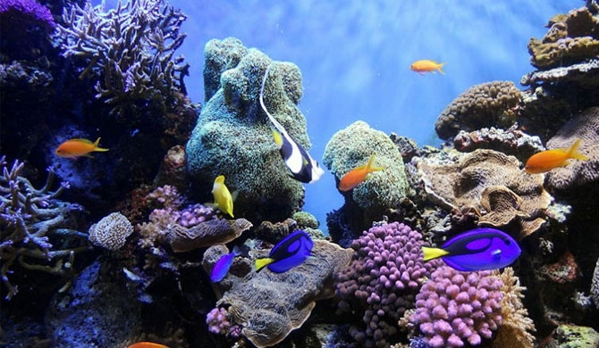 A coral reef is a diverse underwater ecosystem which can provide a home for at least 25 percent of all marine species. Image courtesy wikipedia.org
