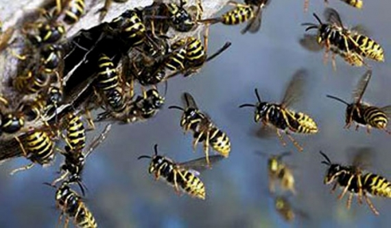 50 hospitalised over wasp attack