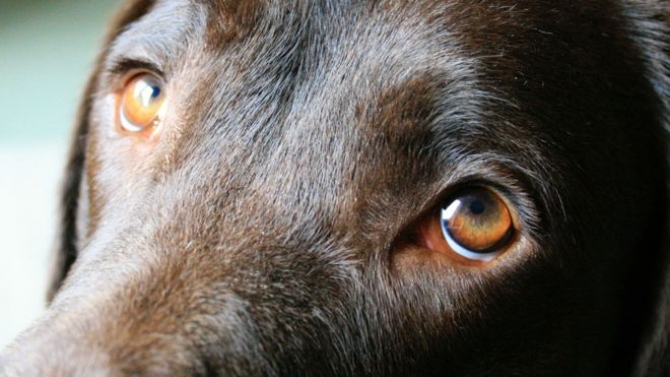 Dogs' eyes evolve to appeal to humans
