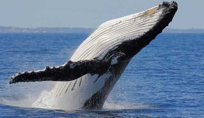 Japan to restart commercial whaling