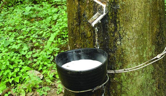Imported rubber spells doom for the local rubber industry