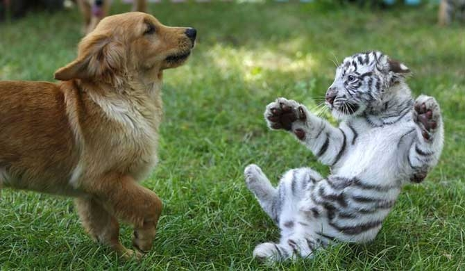 Puppies play with abandoned tiger and lion cubs at Beijing zoo
