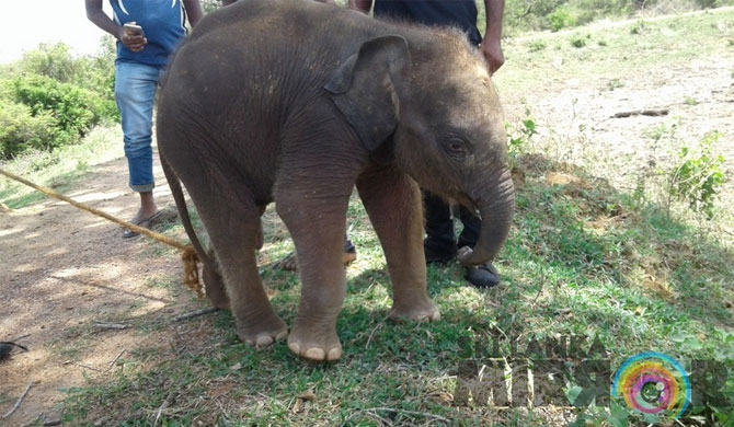 Baby Jumbo in well rescued (Pics)